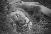 Post-breakfast lion